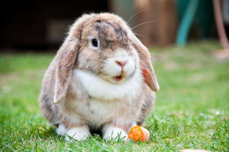 Rabbit - feeding advice from wicstun Vets